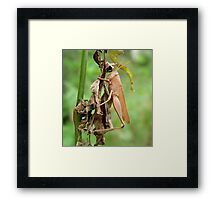 Carolina Locust on Dry Spanish Needles Framed Print