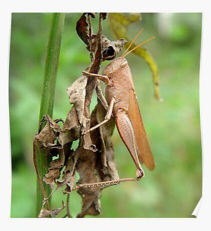 Carolina Locust on Dry Spanish Needles Poster