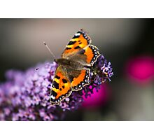 Tortoise shell butterfly Photographic Print