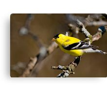 Male Gold Finch, Ottawa, Ontario Canvas Print