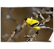 Male Gold Finch, Ottawa, Ontario Poster