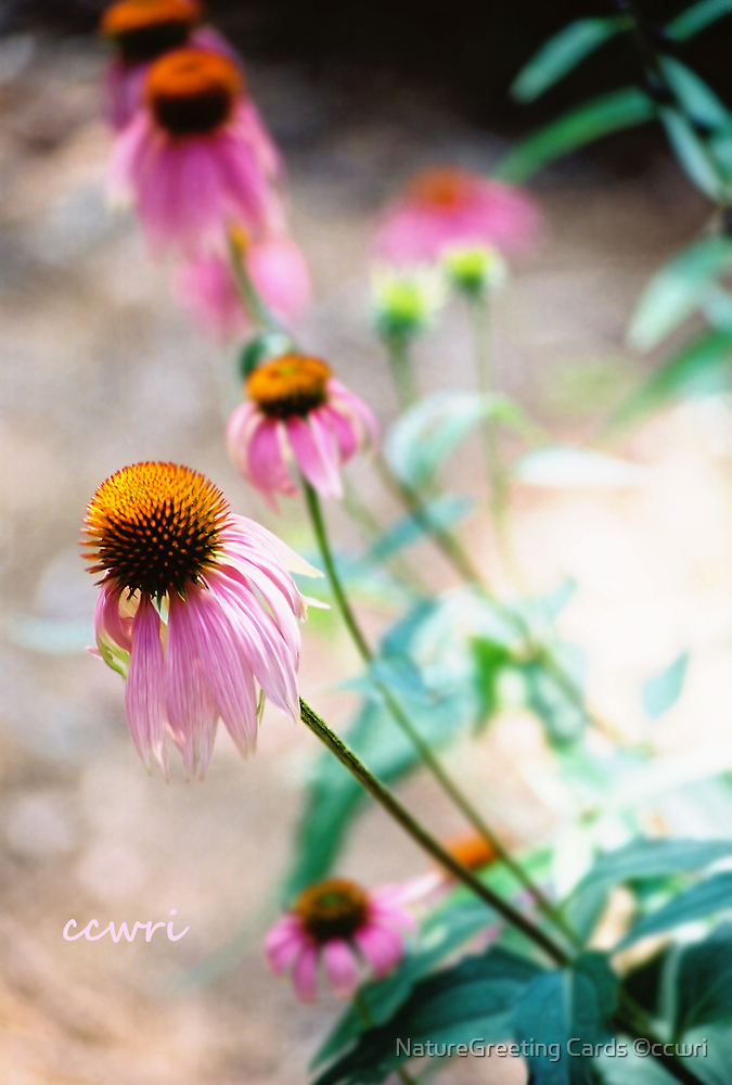 Purple Cone Flower by NatureGreeting Cards ©ccwri
