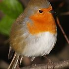 Robin by Nick Barker