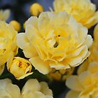 Bright Yellow Roses by photojeanic