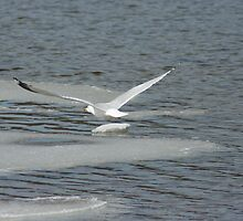 Ice, Water and Seagulls! by Lynn  Gibbons