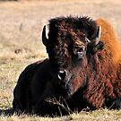 Resting Bison by Dennis Stewart
