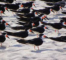 Black Skimmers on the beach by quiltmaker