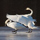 Swan Ballet on Ice on the Mississippi by livinginoz
