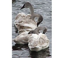 Young Swan Cygnets Photographic Print