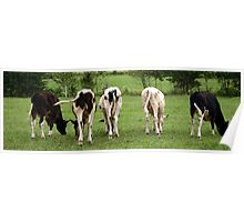 Cows in the Field Poster