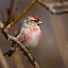 Male Common Redpoll - Shirley's Bay, Ottawa, Ontario by Michael Cummings