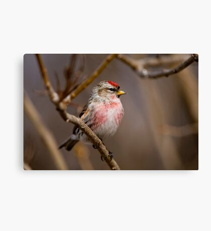 Male Common Redpoll - Shirley's Bay, Ottawa, Ontario Canvas Print