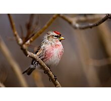 Male Common Redpoll - Shirley's Bay, Ottawa, Ontario Photographic Print