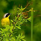 Common Yellow Throat Warbler - Ottawa, Ontario by Michael Cummings
