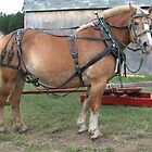 Belgian Horse in Harness by livinginoz
