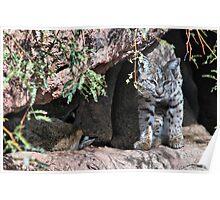 Bobcat in the Desert Poster
