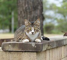 Tabby Cat by Carol Field
