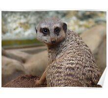 The Meerkat or suricate Suricata suricatta Poster