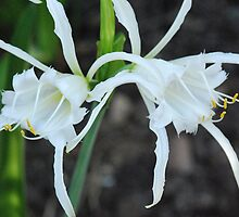 Spider Lily's by MissyD