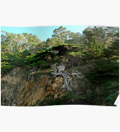 Old Veteran - Point Lobos State Reserve Poster