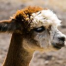 Alpaca by Pascal and Isabella Inard