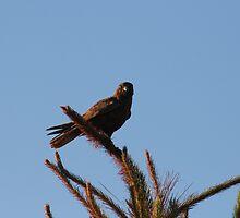 Brown Falcon by Matt  Harvey
