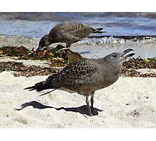 pacific gull chicks Photographic Print