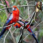 Parrots of the Blue Mountains by Keith Robinson