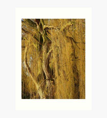 Golden Willow  Art Print