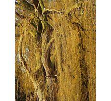 Golden Willow  Photographic Print