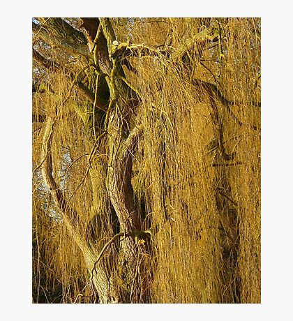 Golden Willow  Photographic Print