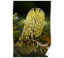 Banksia Flower Spike Poster