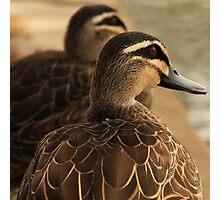 Duck Companion Photographic Print