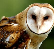 Barn Owl by TurnerJ