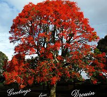Illawarra Flame Tree, South Rd Drouin.  by Bev Pascoe