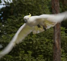 Sulphur Crested Cockatoo in Flight by Keith Robinson
