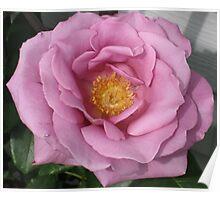 Lavander Rose 3 Poster