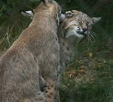 Preening Bobcats by Terence Russell