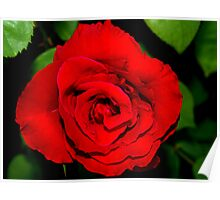 Star-shaped rose Poster
