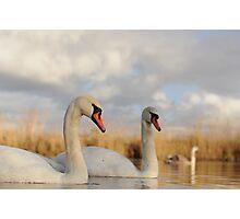 Three Swans Photographic Print