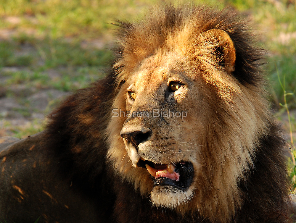 The King of the Jungle by Sharon Bishop