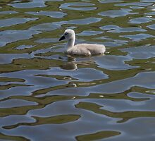 Lonely Cygnet by RosNapier