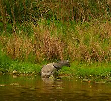 Wild gator on shore by David Mustin