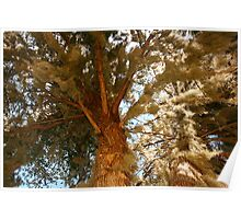 Mossy cypress tree Poster