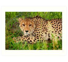 Cheetah - Okavango Delta, Botswana Art Print