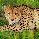 Cheetah - Okavango Delta, Botswana by Sharon Bishop