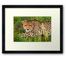 Cheetah - Okavango Delta, Botswana Framed Print