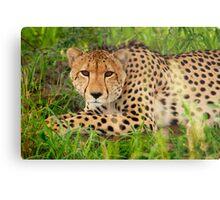 Cheetah - Okavango Delta, Botswana Metal Print