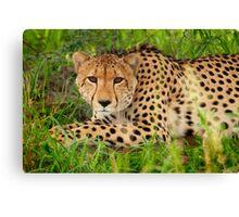 Cheetah - Okavango Delta, Botswana Canvas Print