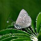 Silvery Blue Butterfly by Alana Ranney